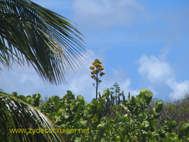 042: Carnival Liberty, Eli's Adventure Antigua Eco Tour, Ditto (blooming stalk)